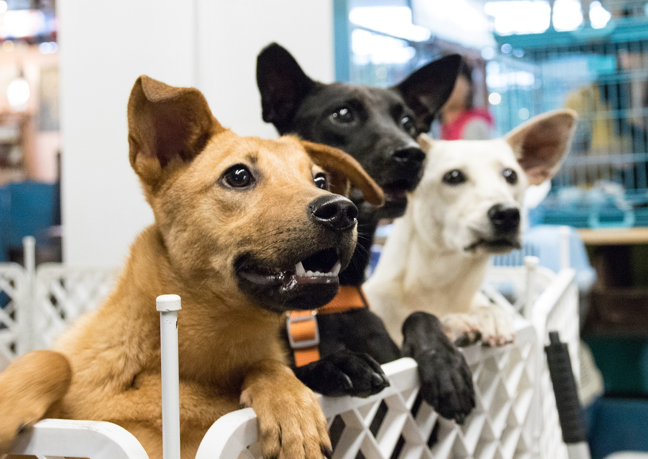 dog, adoption, desire