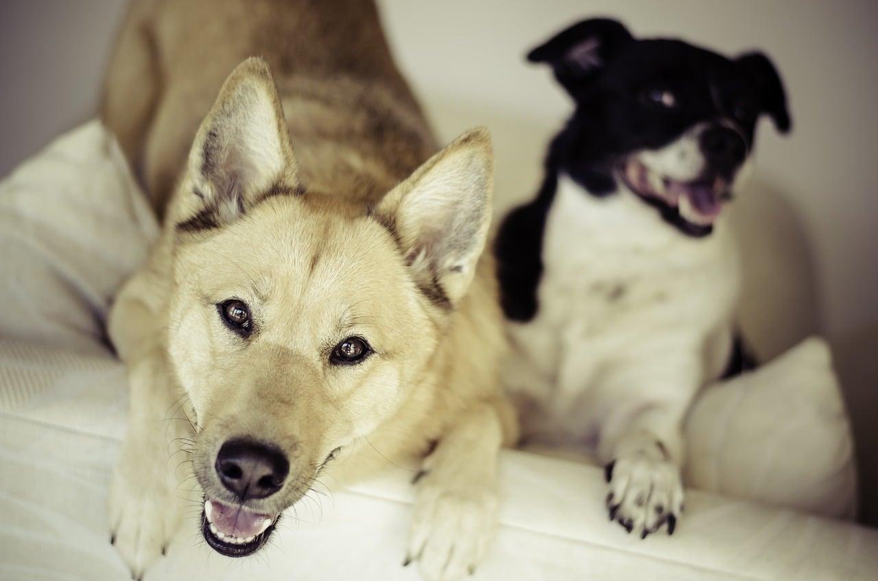 dogs, animals, pets